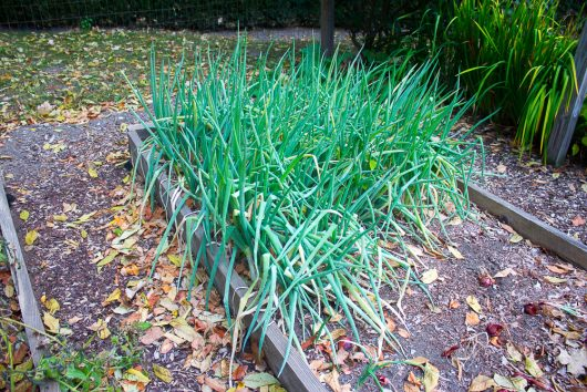 garden-tour-onions-10-17-16