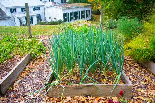 garden-tour-scallions-10-17-16