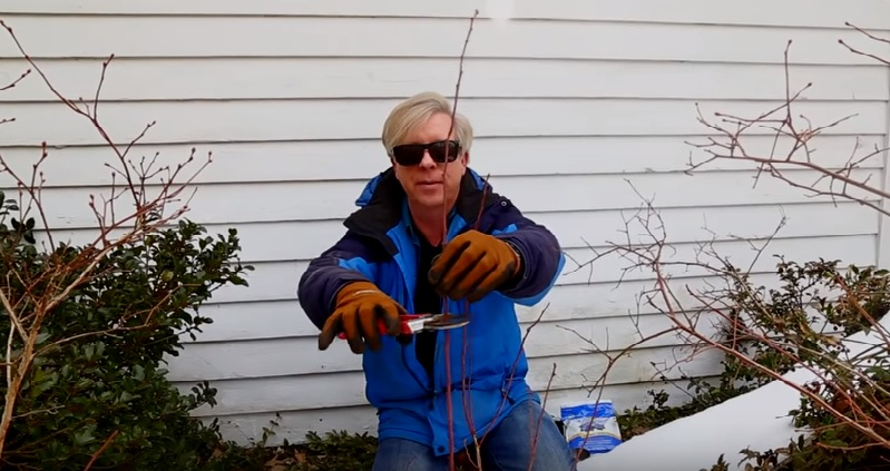 Pruning Blueberry Shrubs, and Acidifying the Soil