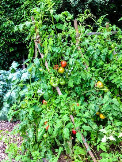 tomatoes ripening on my trellis