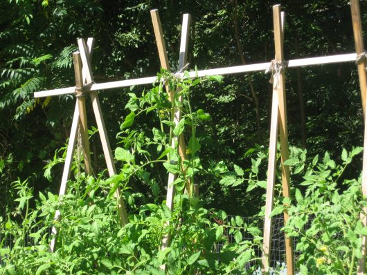 vines on a tomato trellis