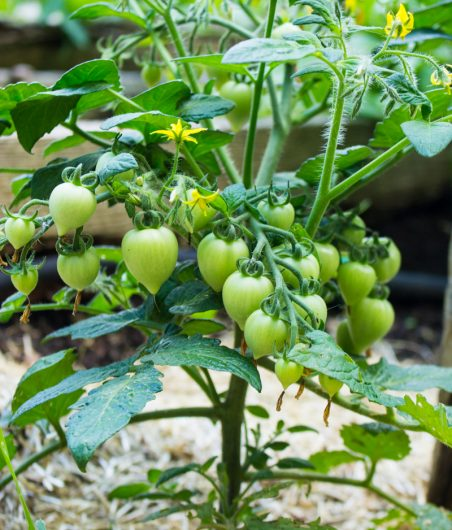 a new tomato variety from Proven Winners