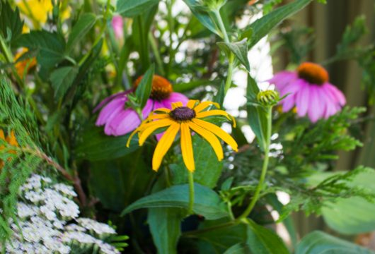black-eyed susan for July Flower Arrangement