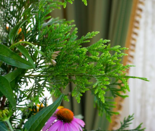 lacy Thuja 'green giant' in July Flower Arrangement