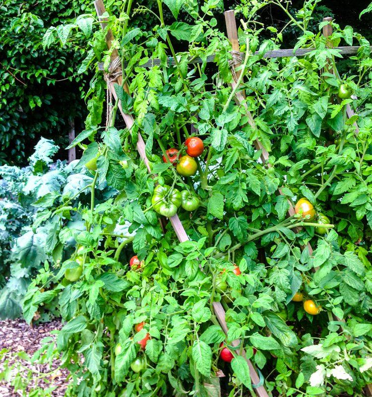 Video: How to Build a Tomato Trellis