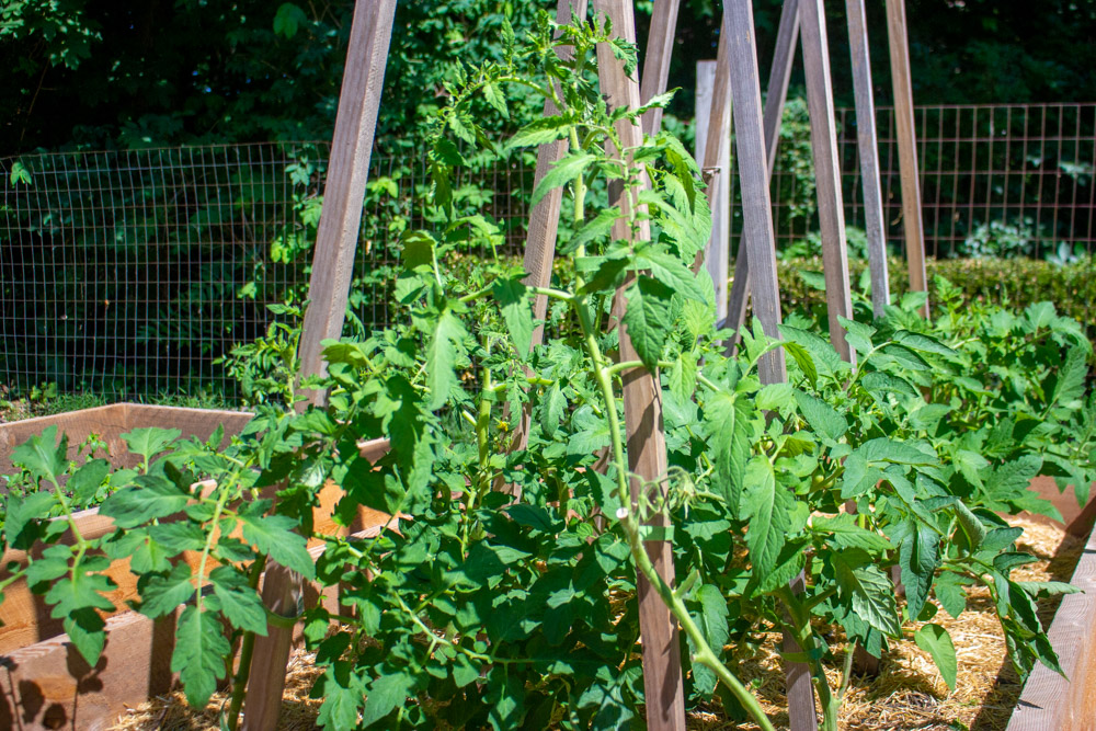Watch: How to Prune Tomato Plants