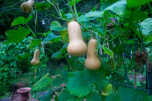 how to harvest, cure, and store butternut squash