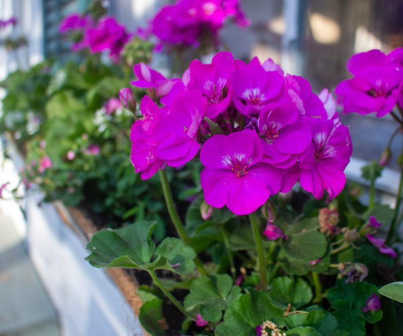 Container Plants for Constant Bloom